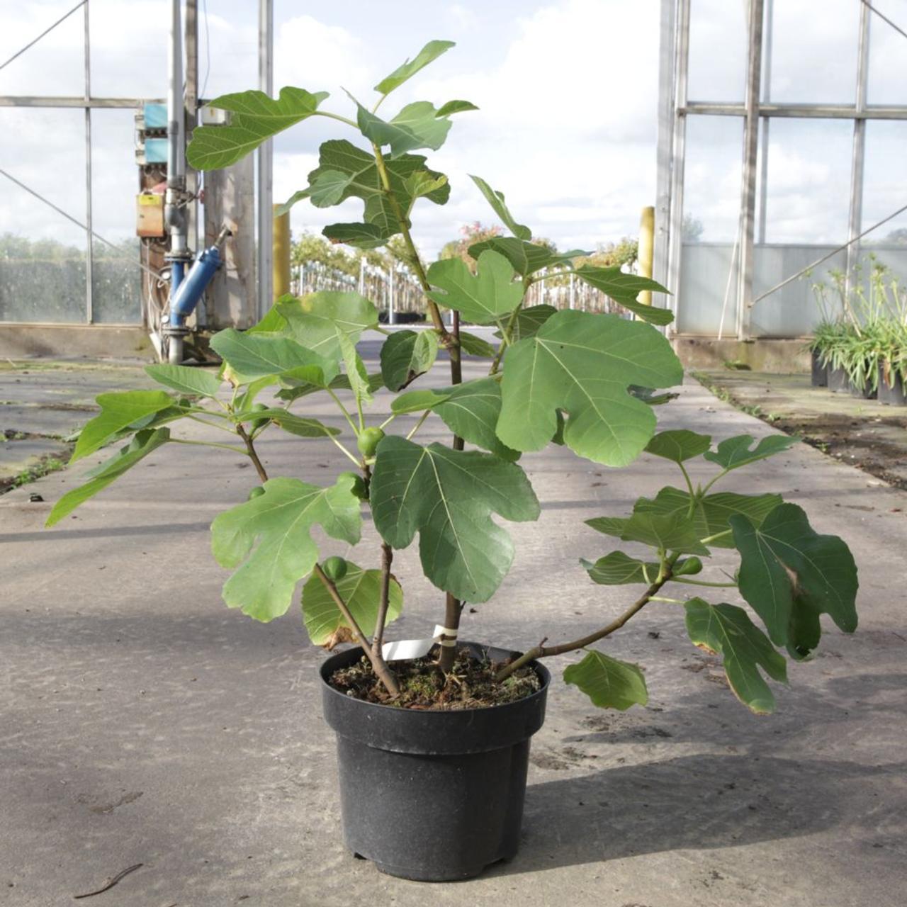 Ficus carica 'Kadota' plant