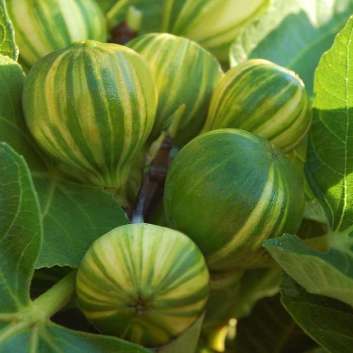 Ficus carica 'Panaché' plant