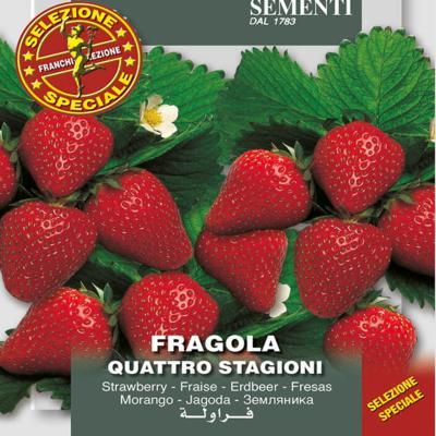 fragaria-x-ananassa-quatro-stagioni