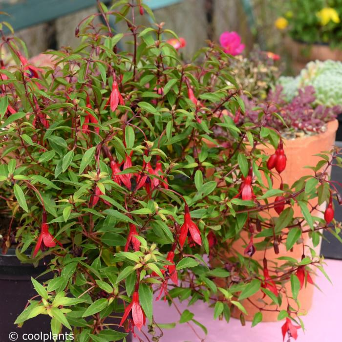 Fuchsia magellanica var. pumila plant