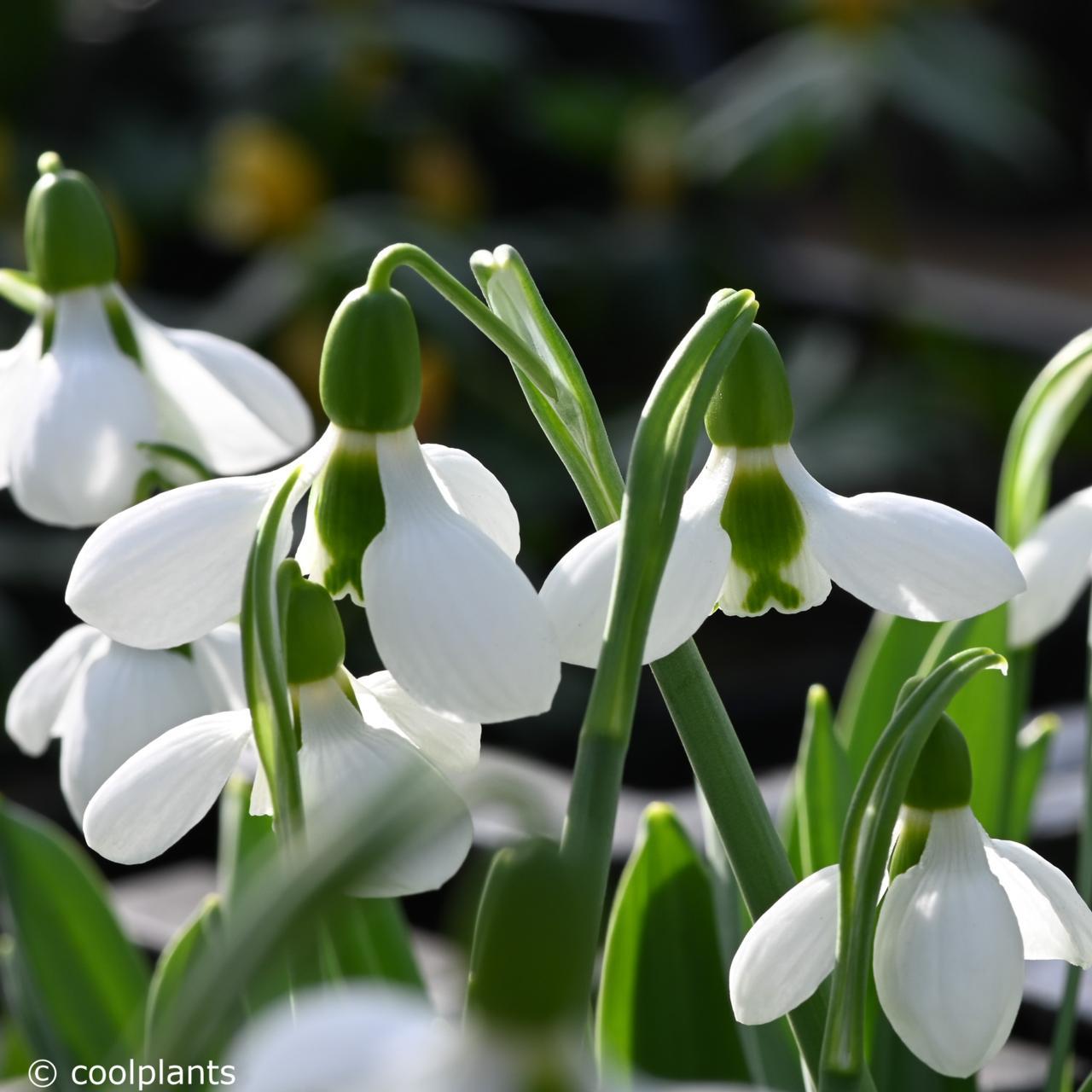 Galanthus elwesii 'Beluga' plant