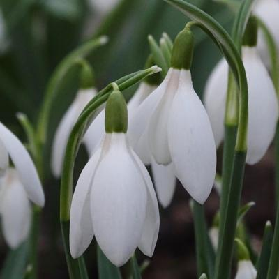 galanthus-bridesmaid