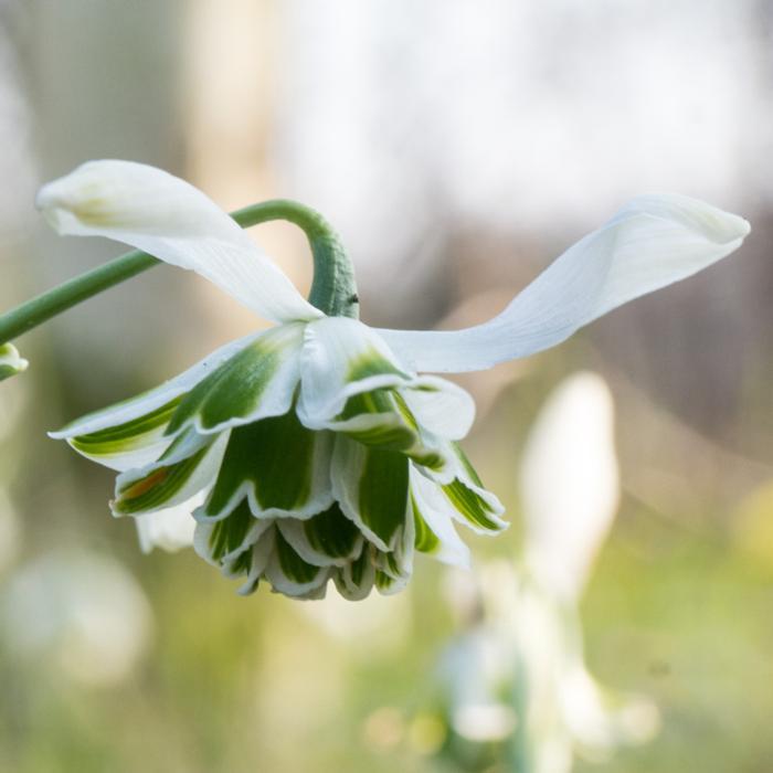 Galanthus 'Desdemona' plant