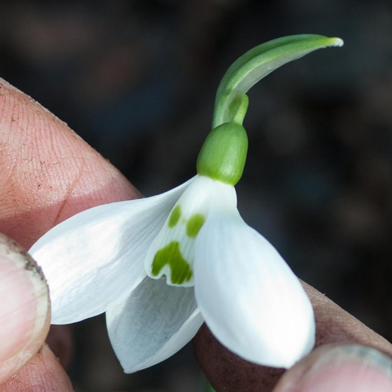 Galanthus elwesii 'Grumpy' (34353)