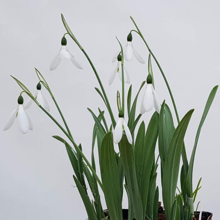 Galanthus elwesii Hiemalis Group 'Donald Simms Early' plant