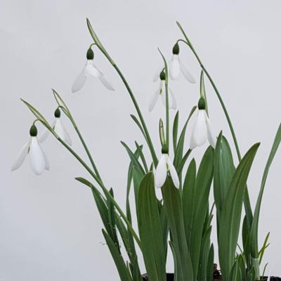 galanthus-elwesii-hiemalis-group-donald-simms-early