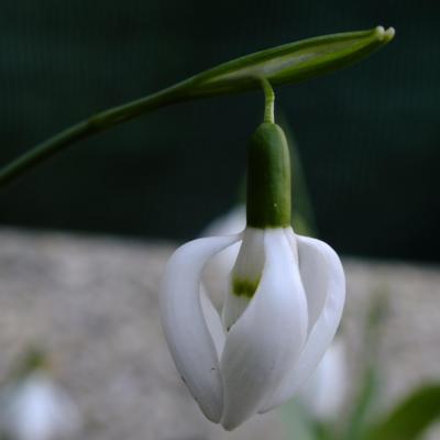 galanthus-elwesii-moses-basket