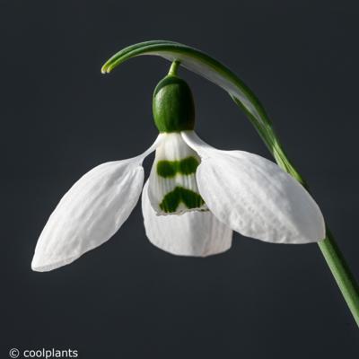 galanthus-elwesii-ssp-whittallii-horup