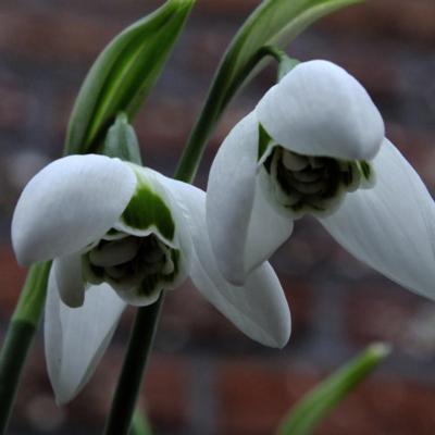 galanthus-faringdon-double_400.jpeg