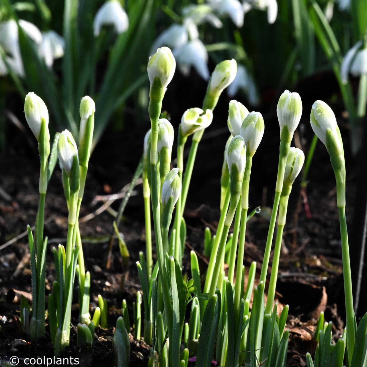 Galanthus 'Funny Justine' plant