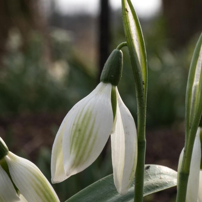 Galanthus ikariae 'Emerald Isle' plant