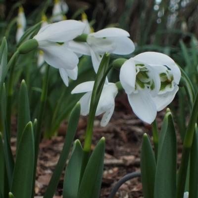galanthus-ikariae-x-elwesii-william-louis_400.jpeg