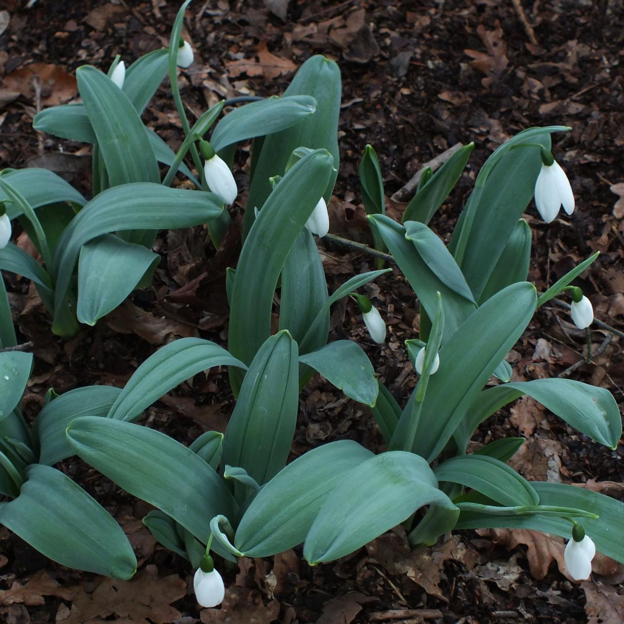 Galanthus 'Miller's Late' plant
