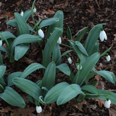 galanthus-millers-late