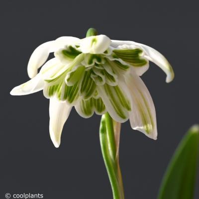 galanthus-nivalis-cockatoo_400.jpeg