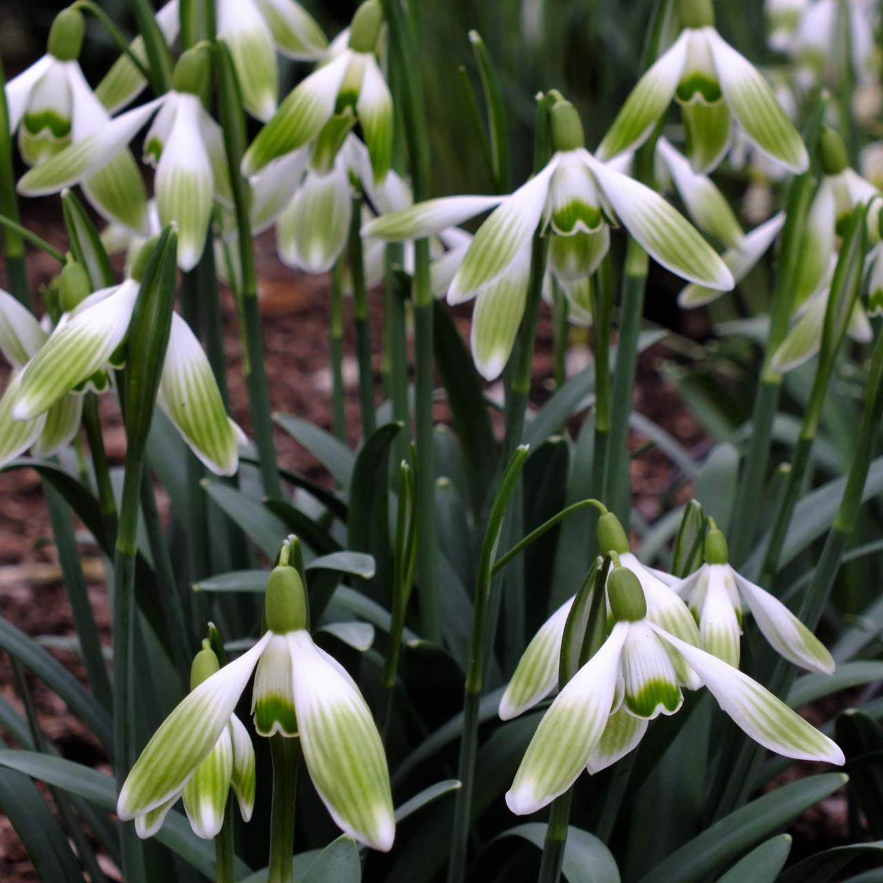 Galanthus nivalis 'Hugh Mackenzie' plant
