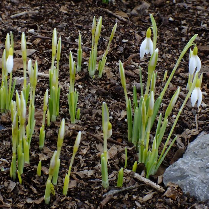 Galanthus nivalis 'Norfolk Blonde' plant