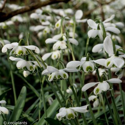 galanthus-ophelia