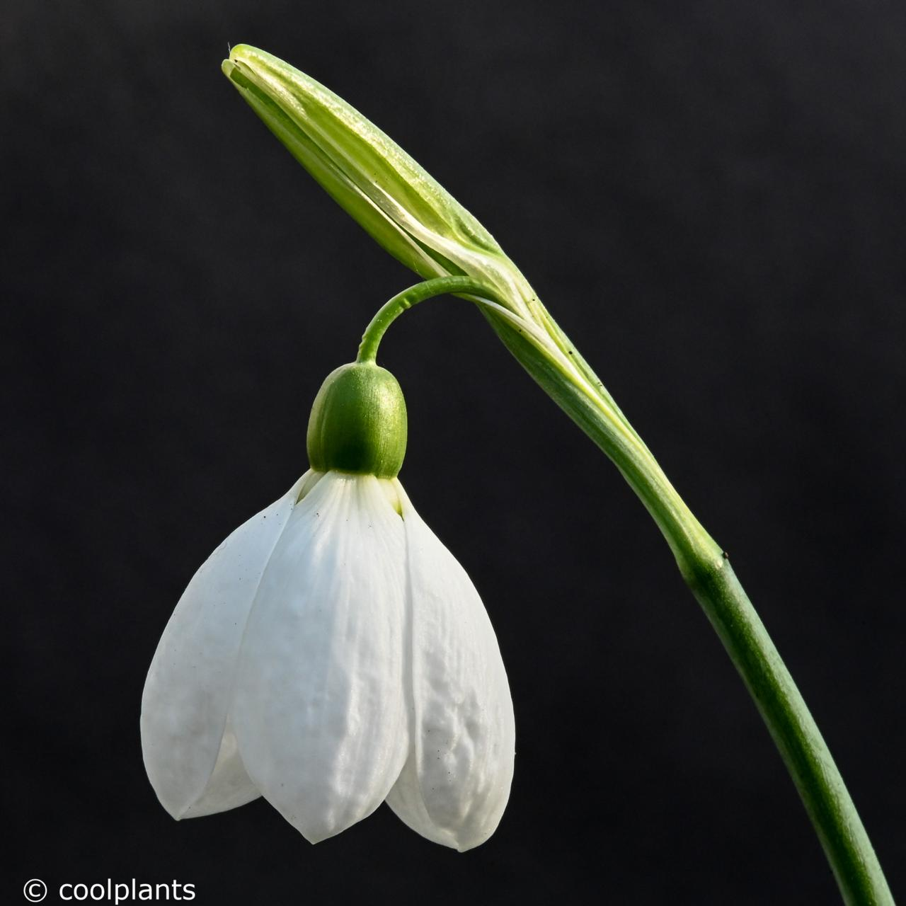 Galanthus 'Peardrop' plant