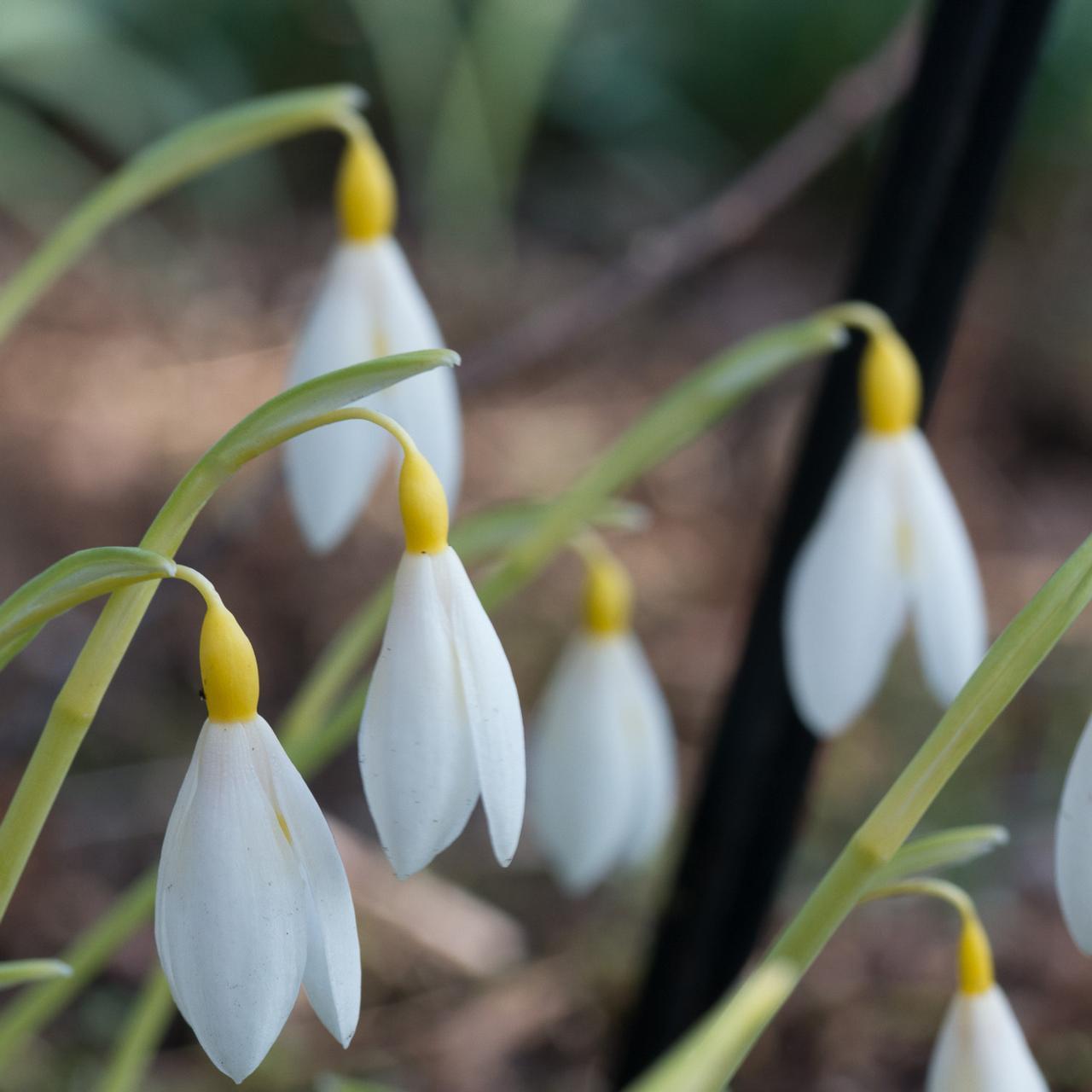 Galanthus plicatus 'Bill Clark' plant