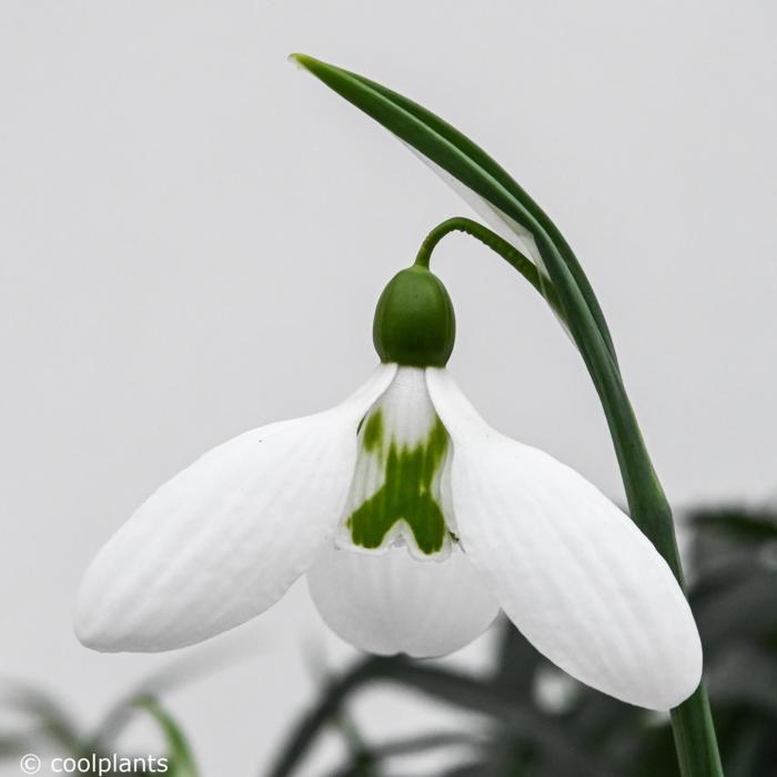 Galanthus plicatus 'Glenorma' plant
