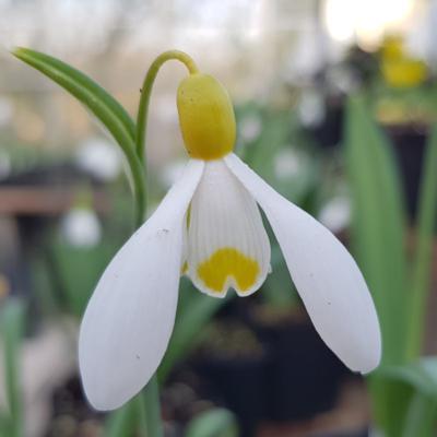 galanthus-plicatus-primrose-warburg_400.jpeg