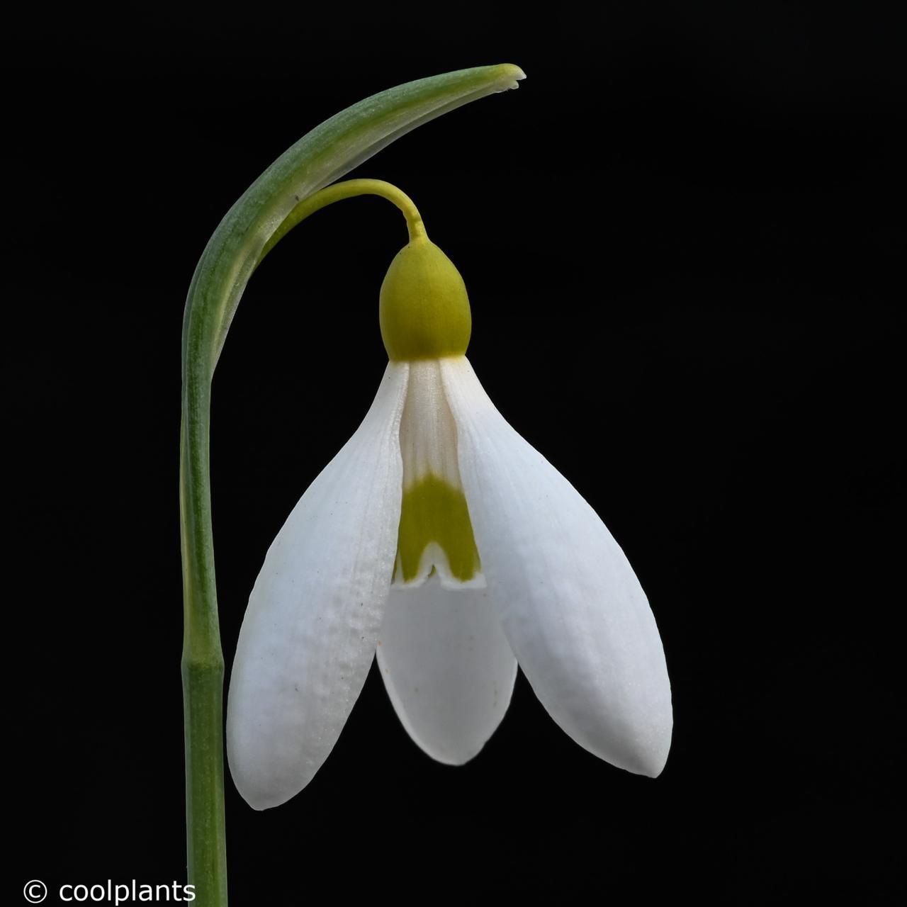 Galanthus plicatus 'Sarah Dumont' plant