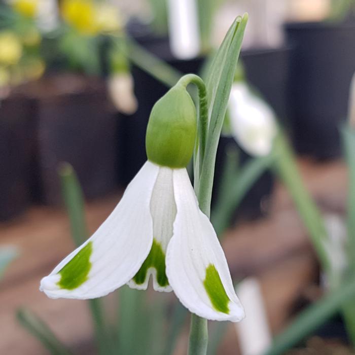 Galanthus plicatus 'Trympostor' plant