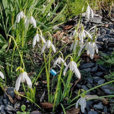 galanthus-reginaeolgae-subsp-ro_1_400.jpeg