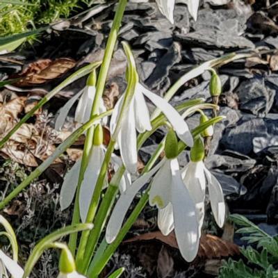 galanthus-reginaeolgae-subsp-ro_2_400.jpeg