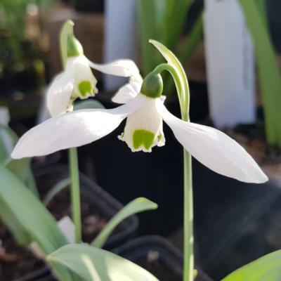 galanthus-shropshire-queen_400.jpeg