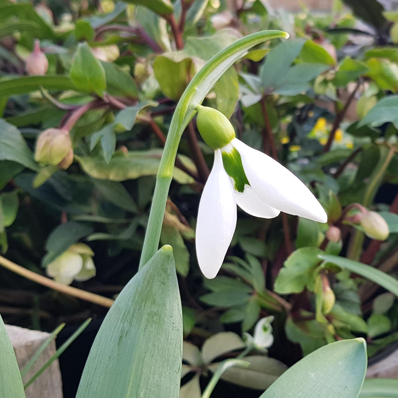 Galanthus 'The Whopper' plant