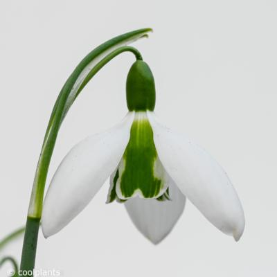 galanthus-under-cherry-plum_400.jpeg