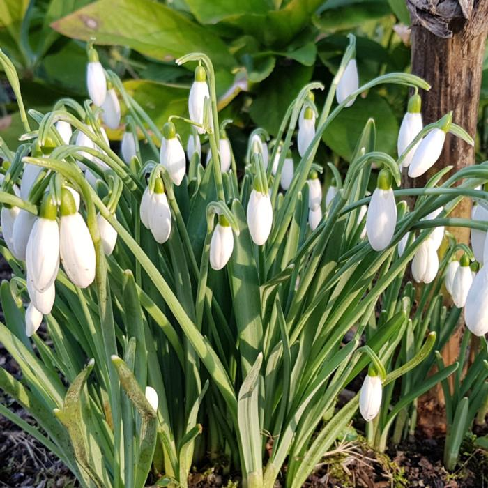 Galanthus 'White Cloud' plant
