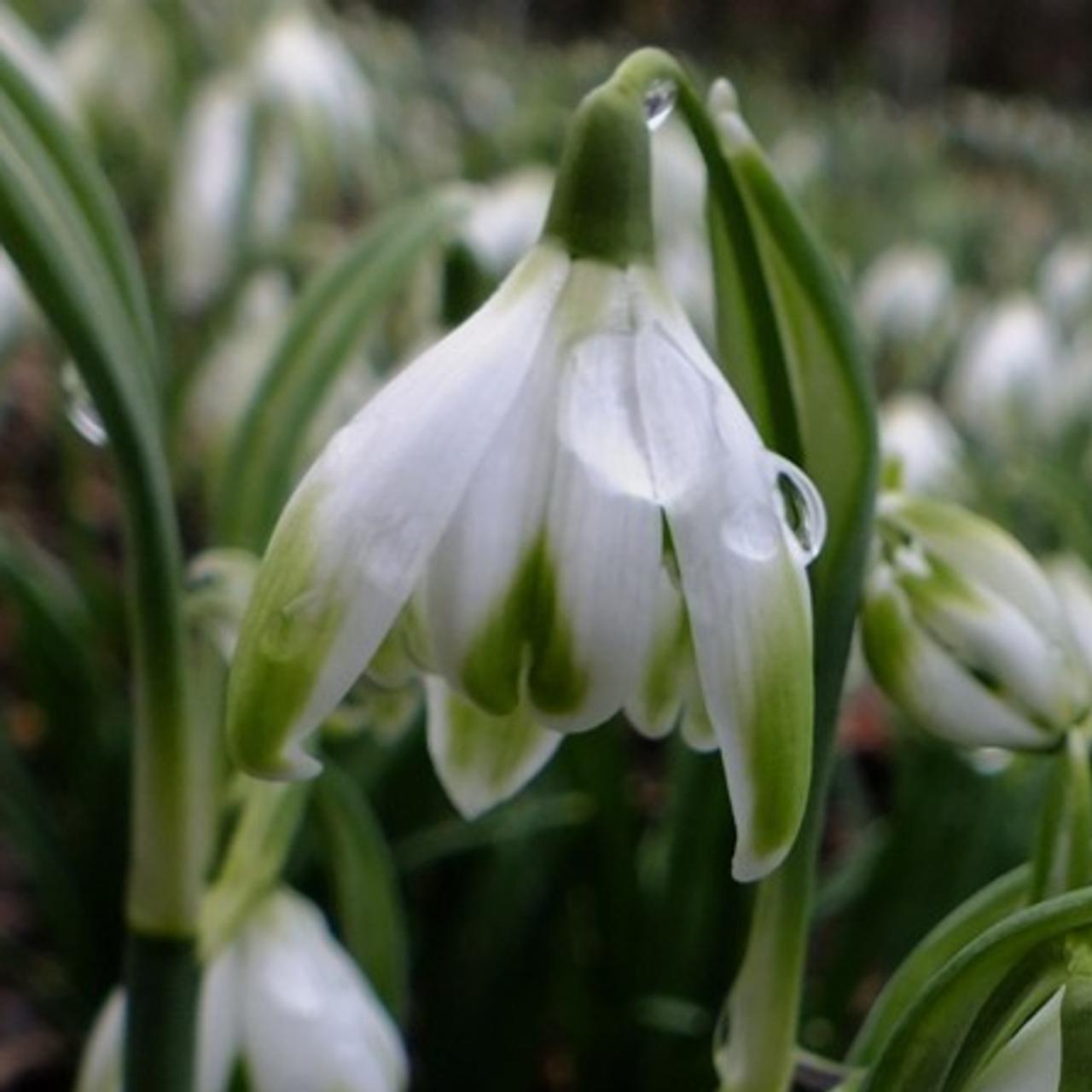Galanthus 'Wifi Cascade' plant