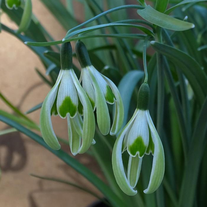 Galanthus 'Wifi Fingers Crossed' plant