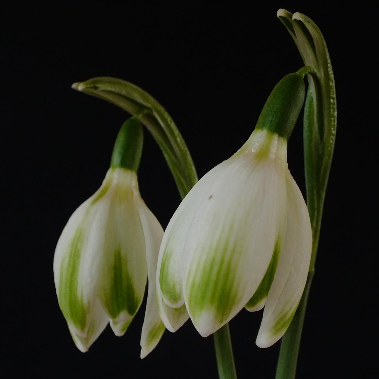 Galanthus 'Wifi Foxtrot' plant