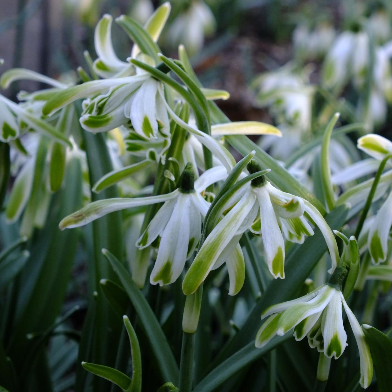 Galanthus 'Wifi Jungle' plant