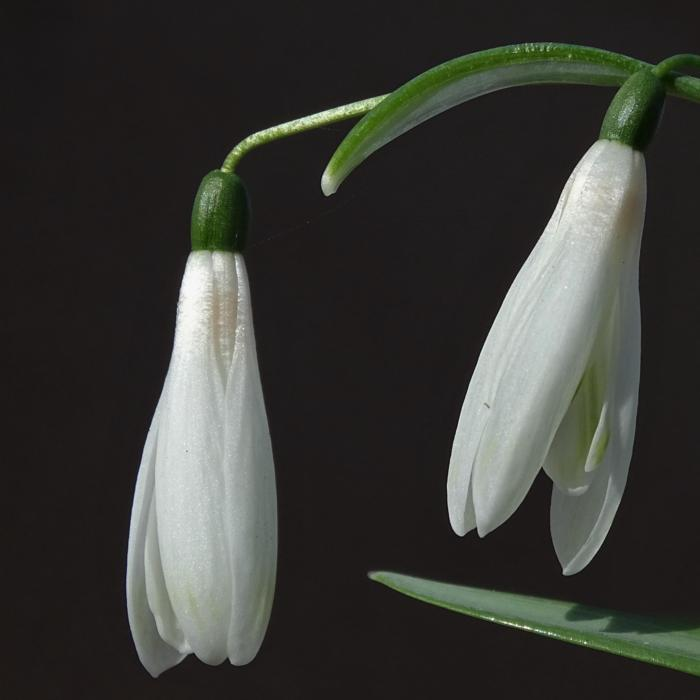 Galanthus 'Wifi Mme Bénédicte' plant