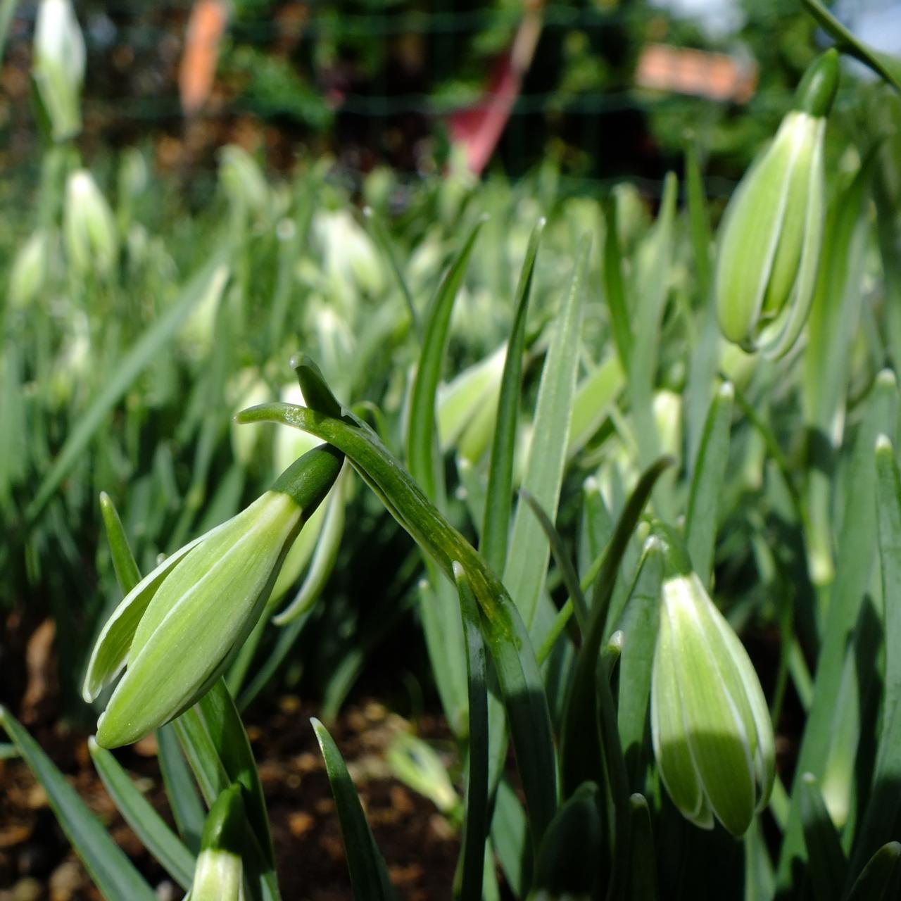 Galanthus 'Wifi Scha Nel' plant