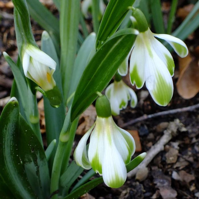 Galanthus 'Wifi Schacoche' plant