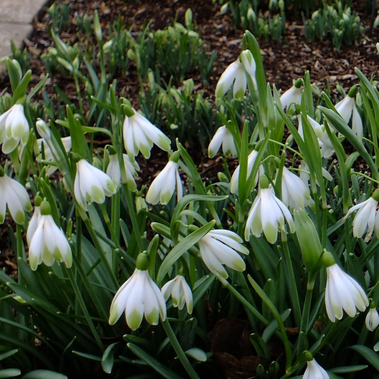 Galanthus 'Wifi Schampagne' plant