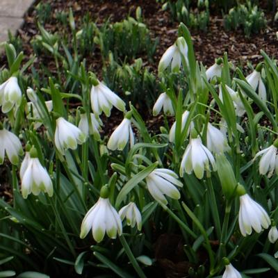 galanthus-wifi-schampagne