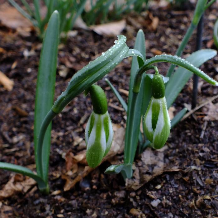 Galanthus 'Wifi Schamps-de-Mars' plant