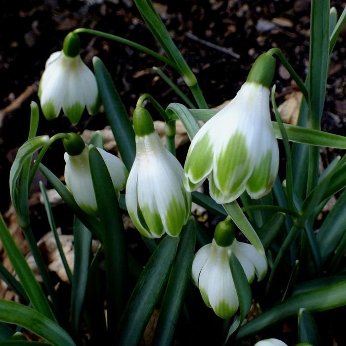 Galanthus 'Wifi Schansard' plant