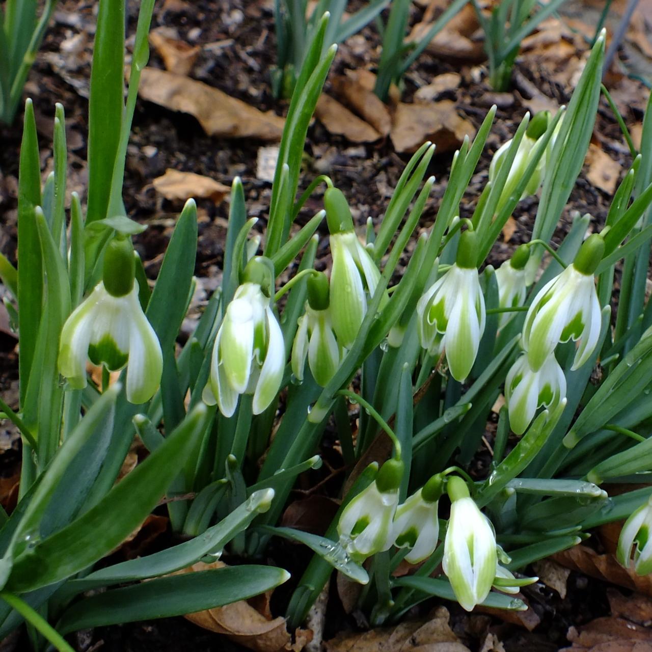 Galanthus 'Wifi Scharcuterie' plant