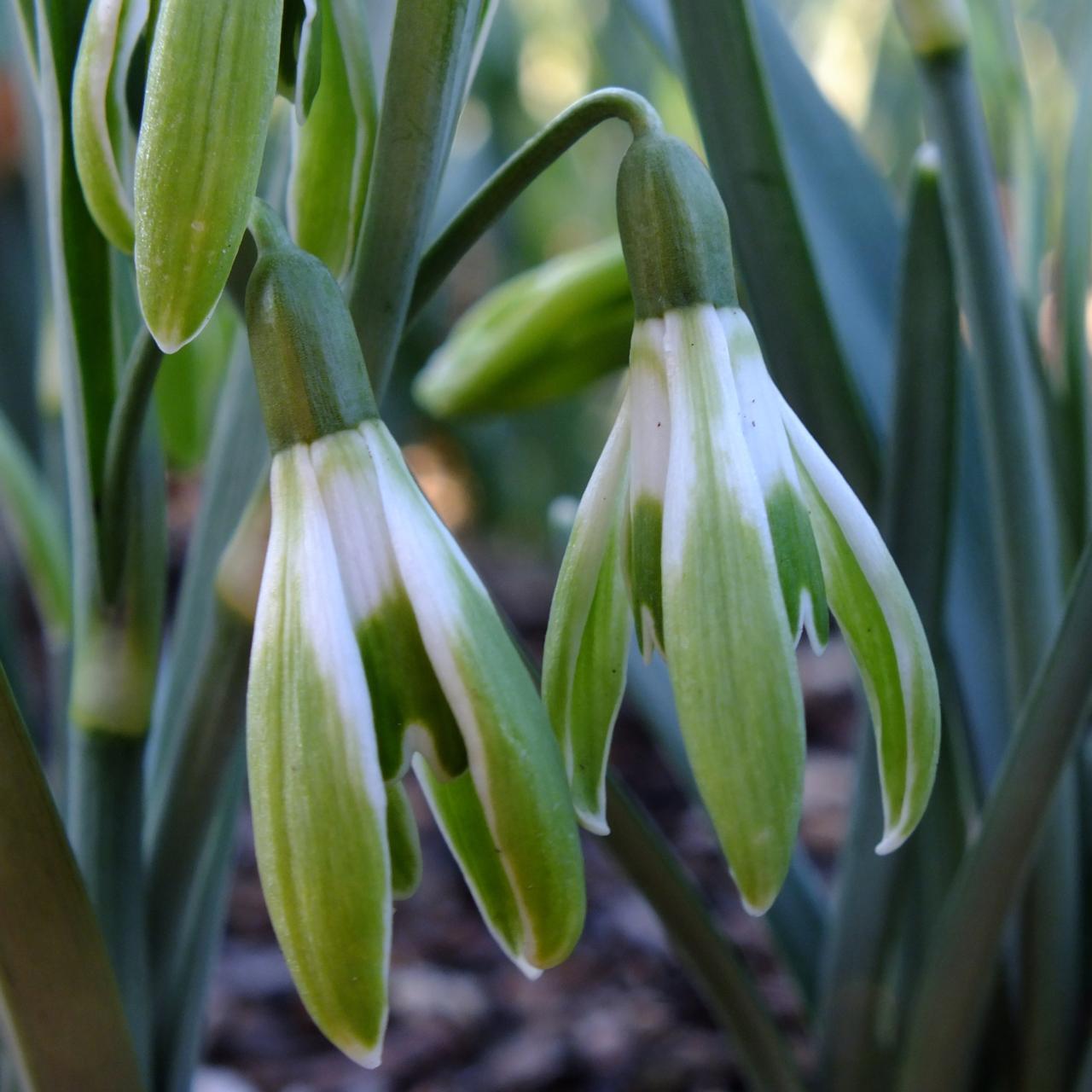 Galanthus 'Wifi Scharisma' plant