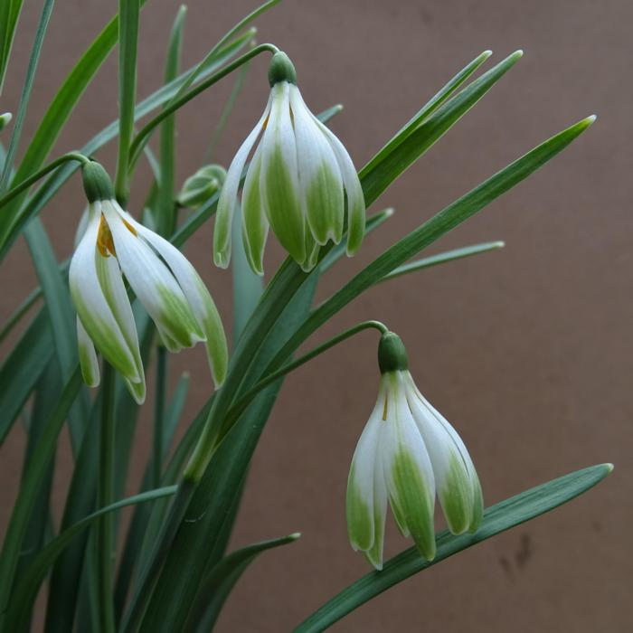 Galanthus 'Wifi Schatterie' plant