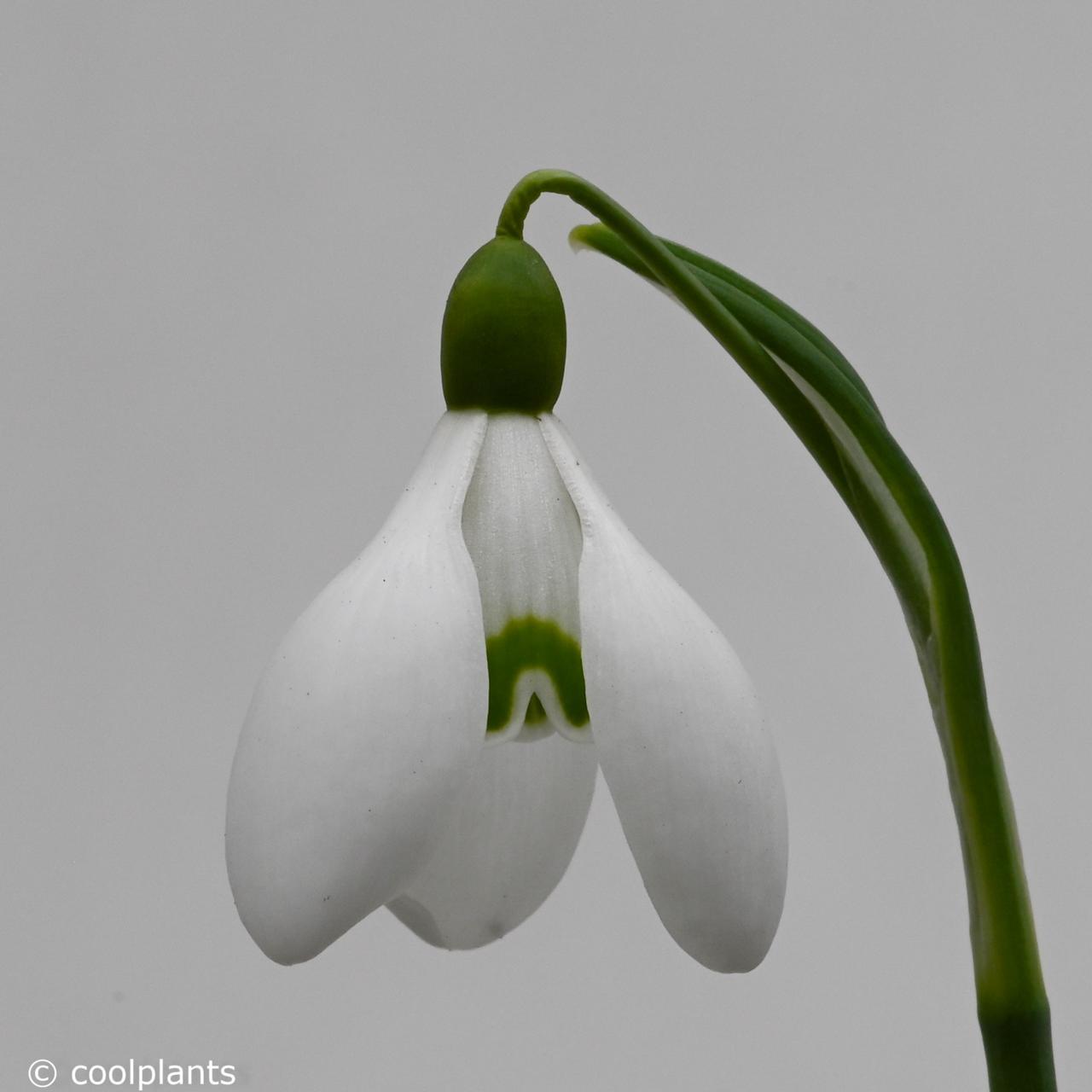 Galanthus woronowii 'Rodmarton Capella' plant