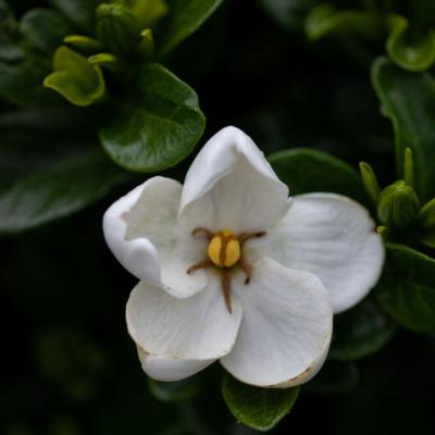 gardenia-kleims-hardy